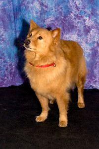 Red Dog, owned and loved by Diana Steele, is a Chow mix.