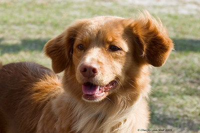 SHR Skylark's Ribbons for Reddog Can/JH WC, US/JH WCI TDI, Nova Scotia Duck Tolling Retriever