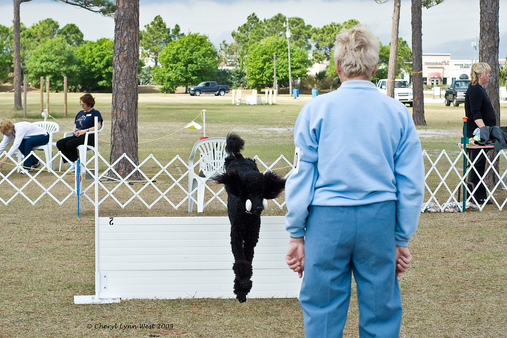 Standard Poodle - Retrieve over the High Jump in Open Obedience
