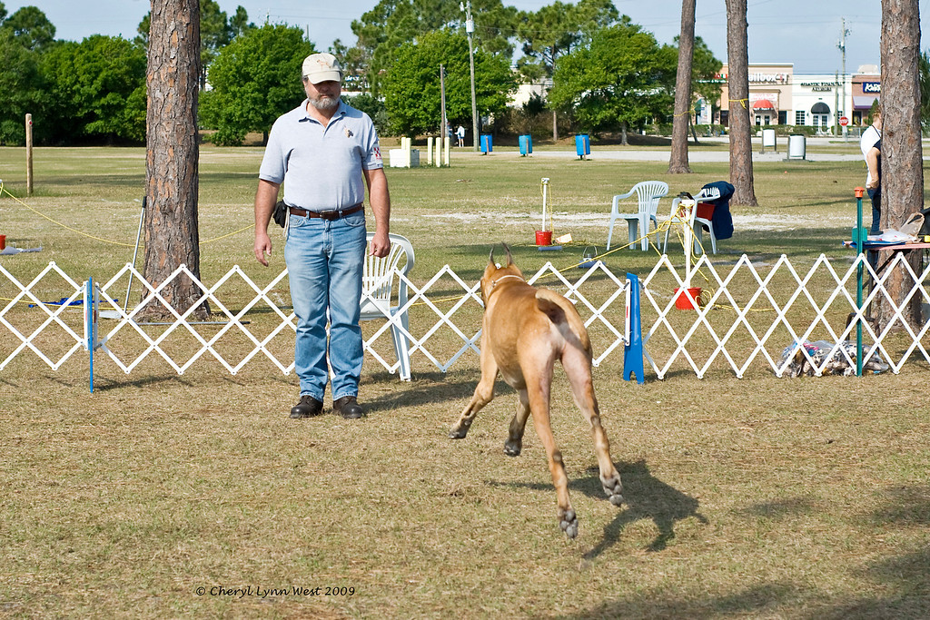 Carson, a Great Dane,does his recall in Novice obedience.