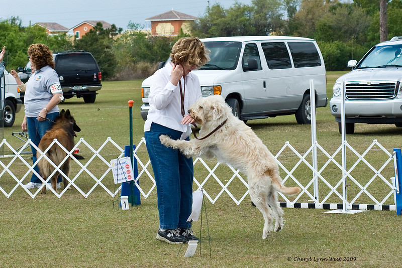 Abbey, a Wheaten Terrier, has a good time while competing with her owner in Rally
