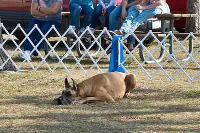 Great Dane during the long down in Novice obedience
