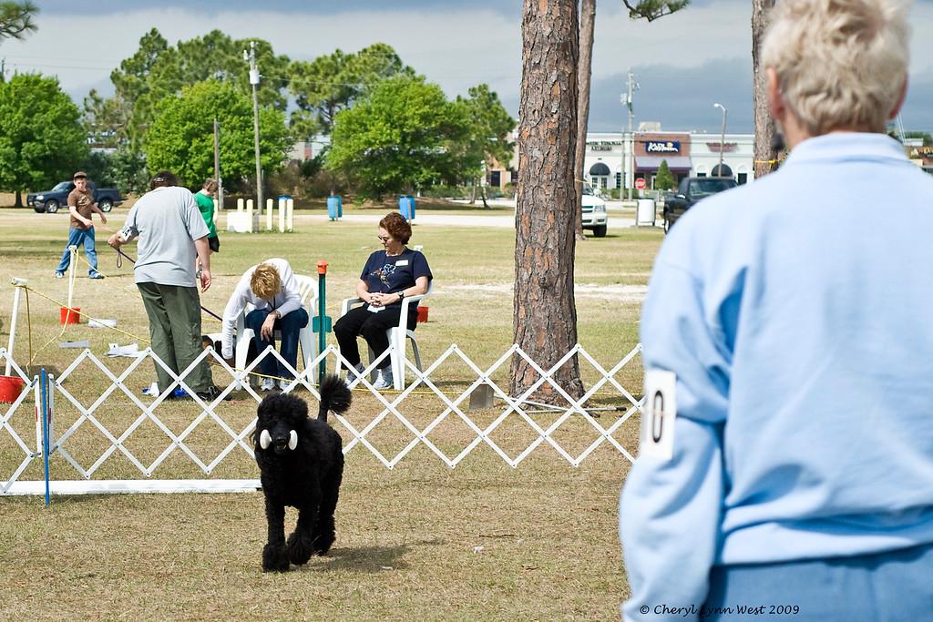 Standard Poodle - Retrieve on the Flat in Open Obedience