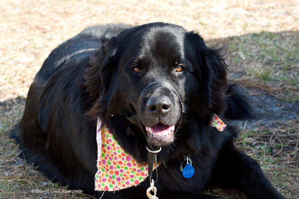 A black Newfoundland enjoys the sunshine and watching the dog match