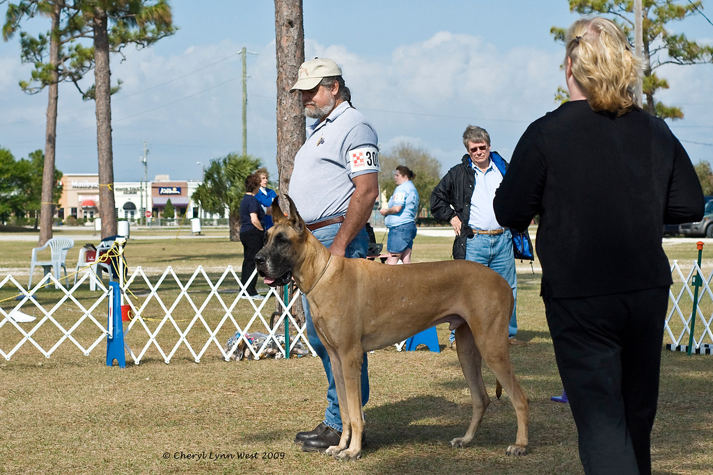 Great Dane performs  the stand for exam exercise