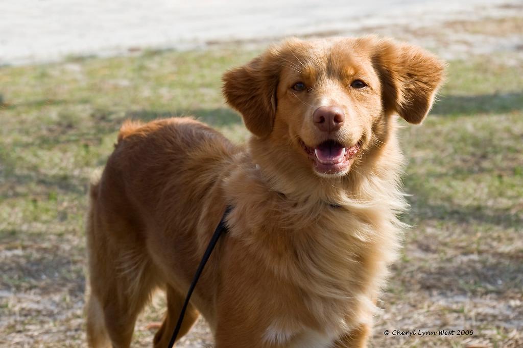 SHR Skylark's Ribbons for Reddog Can/JH WC, US/JH WCI TDI, Nova Scotia Duck Tolling Retriever