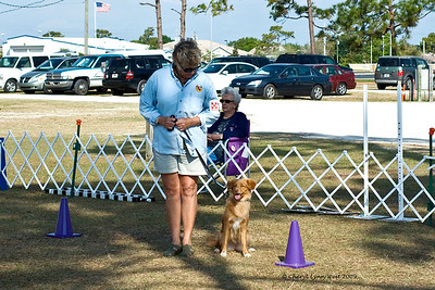 Mardie Smith and Ribbon, Nova Scotia Duck Tolling Retriever, compete in Novice obedience.  Here they are doing the figure 8 heeling pattern.