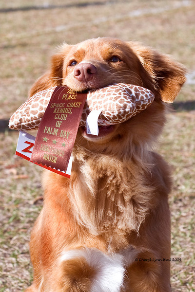 SHR Skylark's Ribbons for Reddog Can/JH WC, US/JH WCI TDI, Nova Scotia Duck Tolling Retriever, prouding showing off his second place ribbon and prize in rally.  She is owned and loved by Mardie Smith.