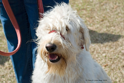 Abbey, a Wheaten Terrier