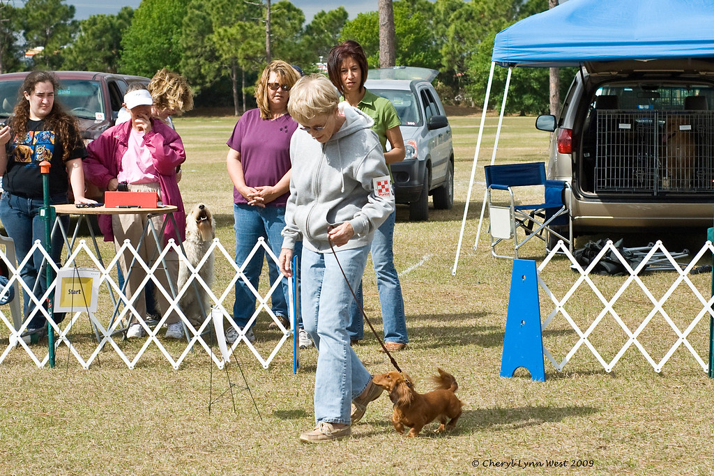 Long-haired Miniature Daschund, competing in Rally