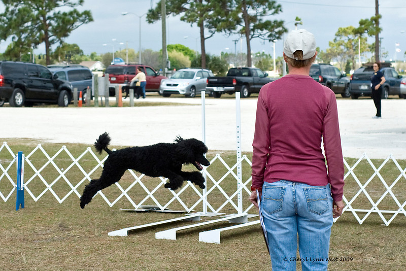 Standard Poodle - Broad Jump in Open Obedience