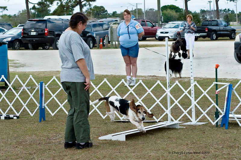 A Basset Hound completes the broad jump in Open obedience.