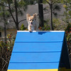Little Laughing Dog Agility Trial in  Florida :