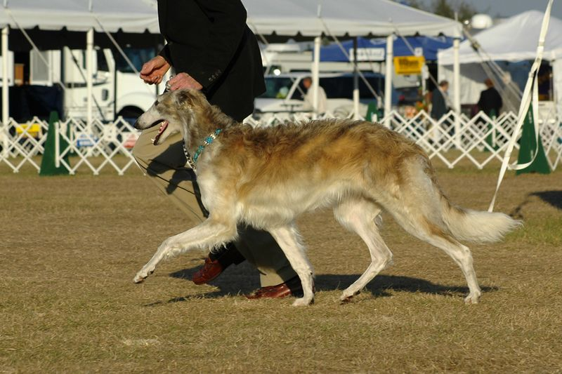 Fiona (Sylvan Vitrina Finian's Rainbow) went along to the show one day. At 8 months old, she is just learning to move on the lead in a semi-controlled manner. She is Virago's daughter out of Ch. Vitrina Zoetrope CD, F.Ch.