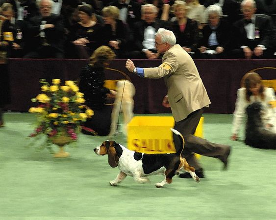 ImaBasset Hound in the Hound group at Westminster Kennel Club