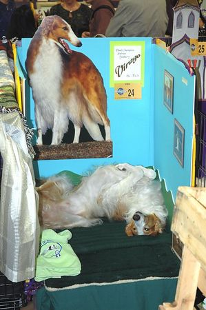 Borzoi on his decorated bench at Westminster Kennel Club