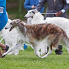 Fiona in Best of Breed competition<br /> <br /> Award of Merit for fourth year in a row