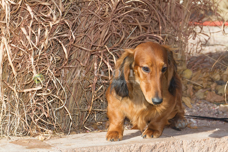 Purebred  Long Haired Dachshund