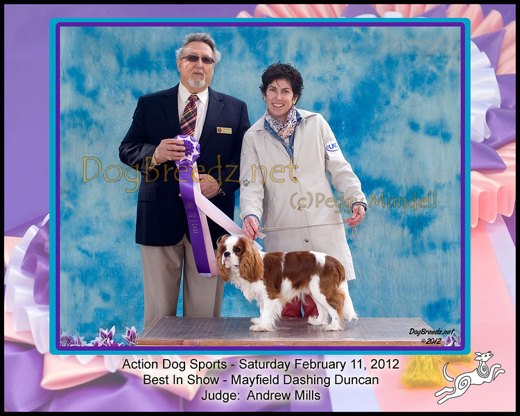 Best In Show - Cavalier King Charles Spaniel #43:  Mayfield Dashing Duncan.  Action Dog Sports Club 2nd All Breed UKC Dog Show.  February 11, 2012 in <br /> Van Nuys, California. Owned by Colleen Osman.