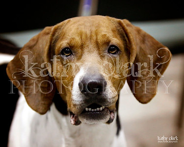 Treeing Walker Coonhounds Dec 2013