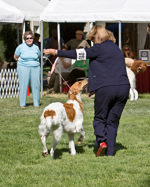 1st - 6-9 dogs<br /> ORONZOVA DANCE PARTY AT VASCHKA. HP277514/08. 10/15/07. Breeder: Suzanne Deghi. By Ch. Sunburst Huntsman at Mechta – Ch. Virshina Oronzova Sweet Sizzle, JC. Owners: Suzan and Kenny Tintorri