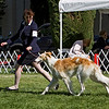 9-12 month bitches<br /> SYLVAN AUTUMN RAIN. HP266299/06. 6/11/07. Breeders: Chris and Patti Neale. By DC Sylvan Seabury Virago, SC – Sylvan Amunet, SC. Owners: Don and Randi Carl