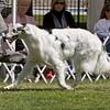 BOB Winner<br /> CH. PO DUSHAM ROYALIST. HP099238/04. 3/21/04. Breeder: Alice Reese. By Ch. Po Dusham Blackjack – Ch. Po Dusham Heartthrob. Owners: Alfred W. Edlin, MD and Ron Williams (Dog)