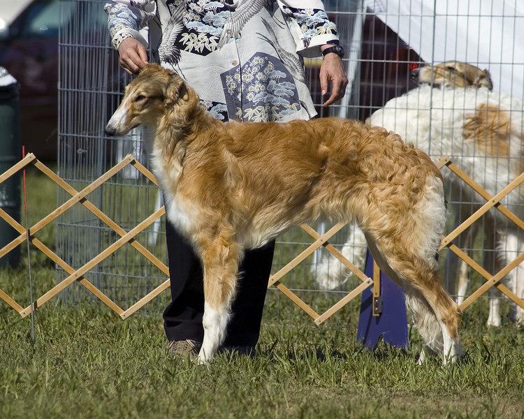 1st - 6 -9 Puppy Bitch <br /> KARANOFF KIKIMORA<br /> DC Sylvan Seabury Virago SC, FCh x  Ch. Karanoff Lastango Joyousgard JC <br /> Breeder/Owner: Karen Klein