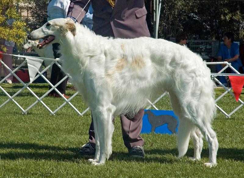 Ch Clovelly High Regard - 1st Australian Bred dogs