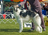 Borscana Ultima Thule - 3rd Open dogs.