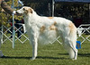 Ch Mistraka Quinn Theskimo - 1st Intermediate dogs and Best Intermediate in Show.
