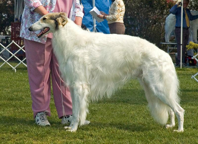 Gr Ch Navaglen Honcho - 1st Veteran dogs