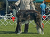 Ahsroff Guiness - 2nd Intermediate dogs