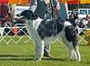 Zoloto Zoviet Iliyoshkin - 3rd Australian Bred dogs
