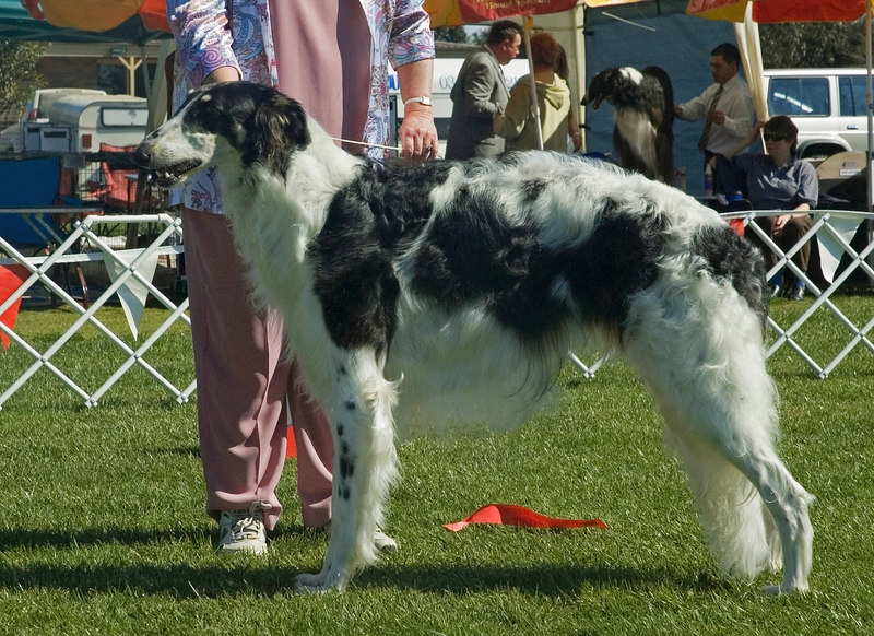 Clovelly Pirate Prince - 2nd in Junior dogs.