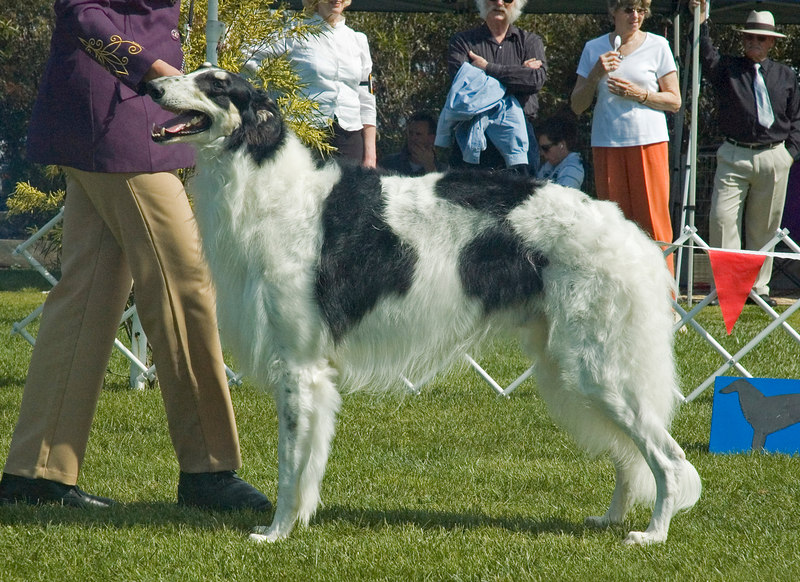 Gr Ch Arias Cry Havoc - 1st Open dogs and Runner-Up to Best in Specialty