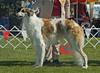 Ahsroff Gatsby - 2nd Australian Bred dogs