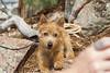 Purebred Norwich Terrier