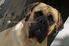 Purebred English Mastiff