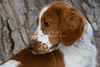 Purebred Welsh Springer Spaniel