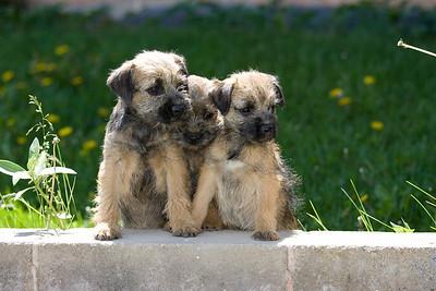Pups_7892_BdrTrr_JM_PAW