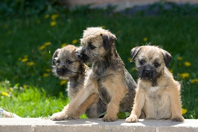 Pups_7897_BdrTrr_JM_PAW