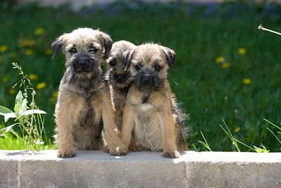 Pups_7889_BdrTrr_JM_PAW