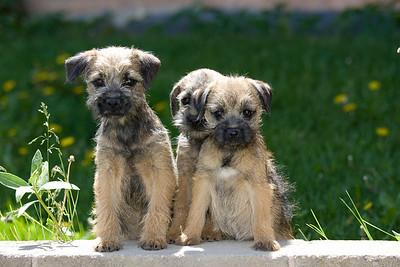 Pups_7887_BdrTrr_JM_PAW