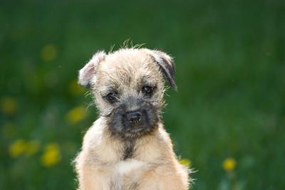 Pups_7895_BdrTrr_JM_PAW