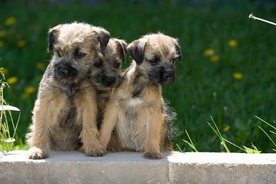 Pups_7893_BdrTrr_JM_PAW