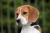 Purebred  Beagle