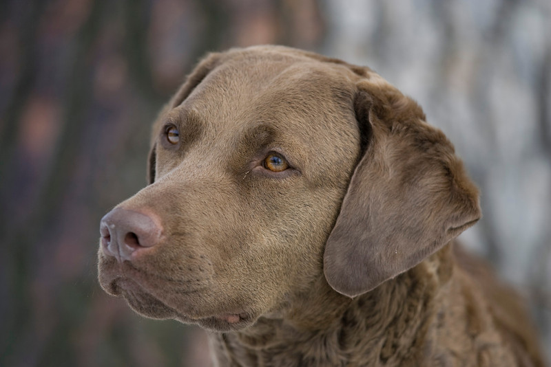 Purebred Chesapeak Bay Retriever