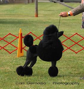 DSC_6179 Standard Poodle #10 CH ANASTASIA DA MAYA.  Best In Show Winner Shown here during Best In Show Judging