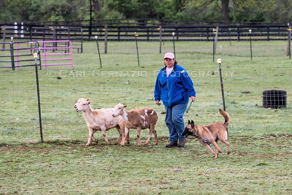 Herding - Candid Photos - Monday, May 9, 2016